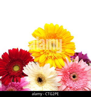 Colorful gerbera daisies isolated on white background - Stock Image