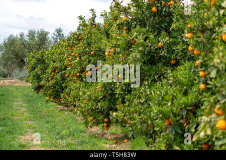 Orange citrus fruit plantations with rows of orange trees on Peloponnese, Greece, new harvest of sweet juicy oranges - Stock Image