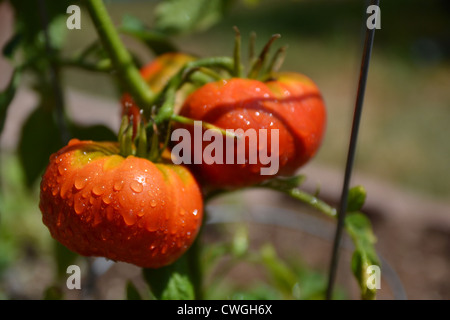 Organic Summer Tomatoes on the Vine - Stock Image