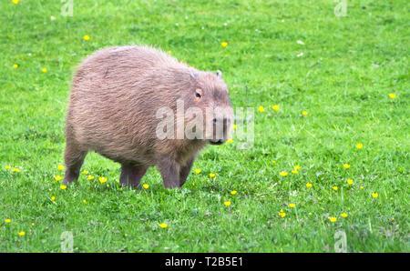 A capybara (Hydrochoerus hydrochaeris) walks across a grassy field with yellow flowers. - Stock Image