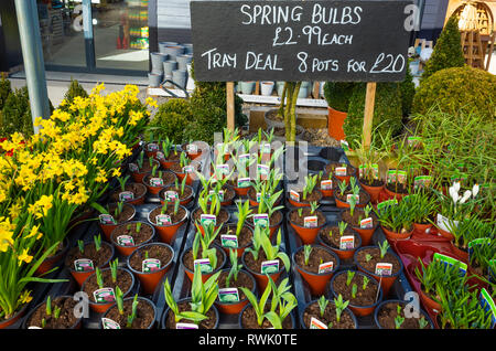 Garden Centre display of Alliums and Fritilliaries pot plants for spring priced at £2.99 each or 8 pots for £20 - Stock Image