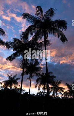 Palmito (Euterpe edulis) palm trees from the Atlantic Rainforest - Stock Image