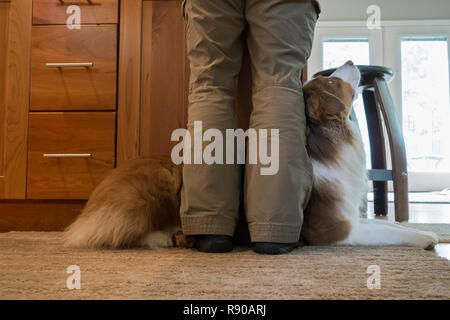 Closeup of an Australian Shephard laying at the feet of his owner. - Stock Image