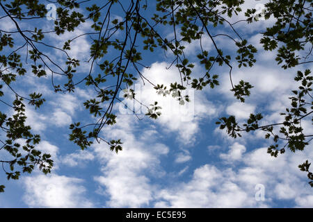 branches in front of a cloudy sky - Stock Image