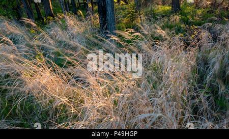 Wind rippled long grasses under forest trees, Dore Lake, Saskatchewan, Canada - Stock Image