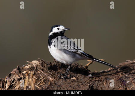 male Pied Wagtail (Motacilla alba yarrellii) standing on top of a manure heap - Stock Image