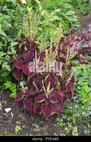 Close up of the flowering Solenostemon blumei coleus 'Brillancy' in a garden flower border - Stock Image