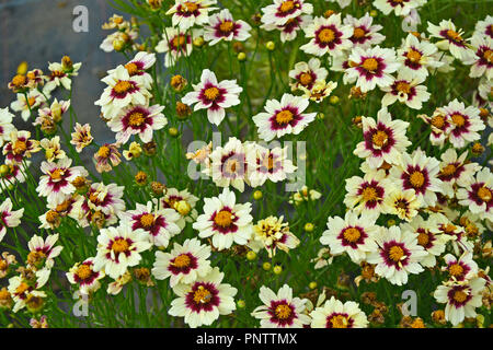 Close up of a flowering Coreopsis 'Snowberry' in a cottage garden - Stock Image