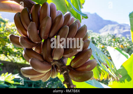 Bunch of sweet red bananas hanging on tropical banana palm tree close up - Stock Image