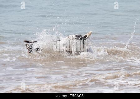 Camber, East Sussex, UK. 19th Apr 2019. A hot and sunny start to the bank holiday weather on the South East coast with temperatures expected to exceed 24c in some parts of the country. Camber Sands in East Sussex is packed full of people making the most of the lovely day. A dog splashes into the sea. ©Paul Lawrenson 2019, Photo Credit: Paul Lawrenson/Alamy Live News - Stock Image