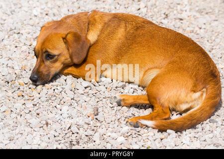 Lying dog - Stock Image