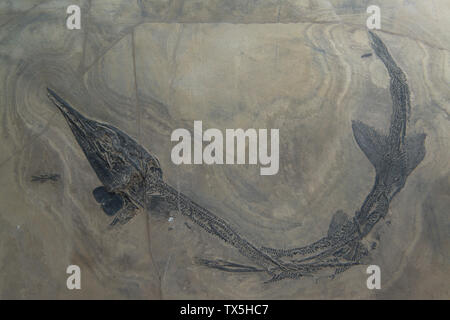 Fossil of Eosaurichthys sp. Middle Triassic. Luoping, Yunnan, China. Geological Museum of China. - Stock Image