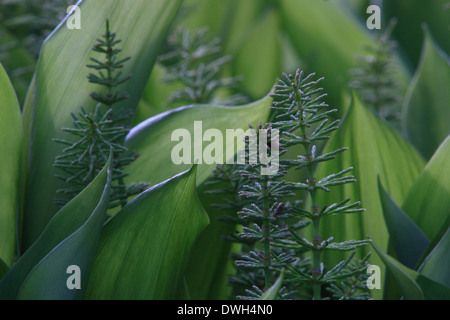 Horsetail (Equisetum) is growing between the leaves of Lily of the valley plants (Convallaria majalis). - Stock Image