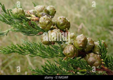 Monterey cypress (Cupressus macrocarpa), fruits of self-sown tree on dunes, UK. - Stock Image