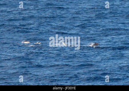 Striped Dolphin, Stenella coeruleoalba group, moving at speed, 85 miles southwest of El Hierro, Canary Islands, - Stock Image