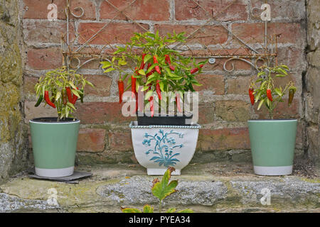 Three Small ceramic containers growing Red Chillies - Stock Image
