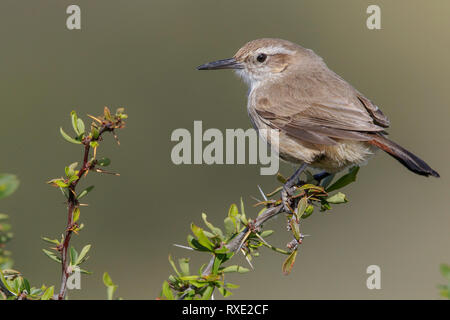 Band-tailed Earthcreeper (Ochetorhynchus phoenicurus) perched on a branch in Chile. - Stock Image