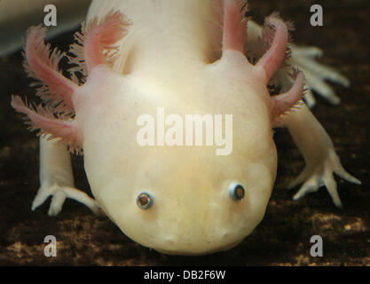 An axolotl (lat.: Ambystoma mexicanum) pictured at the Institute of Systematic Zoology and Evolutionary Biology - Stock Image