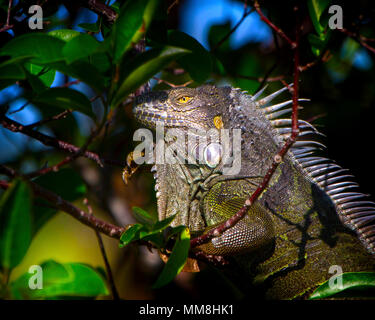 A large Iguana sits in a tree on a spring day in the Florida Everglades. Iguanas are very colorful creatures even though they get a bad rap. - Stock Image