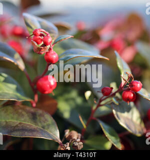 Red berries hanging from a tree branch. The background has beautiful color leaves in green, red and orange. Closeup photo. Color image. - Stock Image