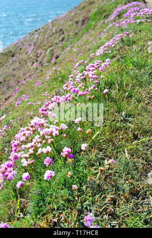 Thrift (Armeria maritima) wild flowers and beautiful scenery on the walk to Baggy Point, Croyde, Braunton, North Devon, UK - Stock Image
