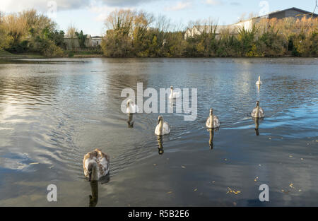 Seven Mute Swans swimming to side looking for food Milton Country Park - Stock Image