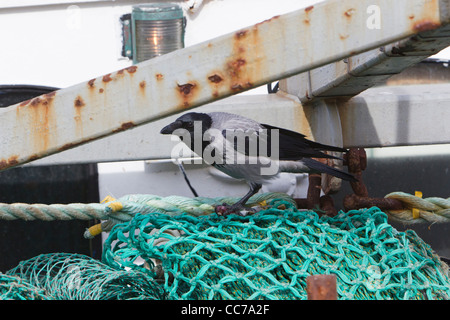 Hooded Crow (Corvus corone cornix), Searching for Food in Fishing Net on Fishing Boat, Gilleleje Harbour, Sjaelland, - Stock Image