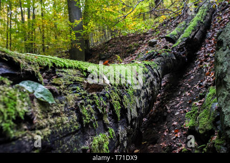 Moss growing on fallen tree in forest - Stock Image