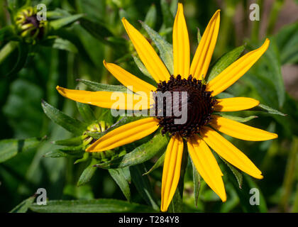 Orange Coneflower 'Goldsturm' (Rudbeckia fulgida), flowers of summer - Stock Image