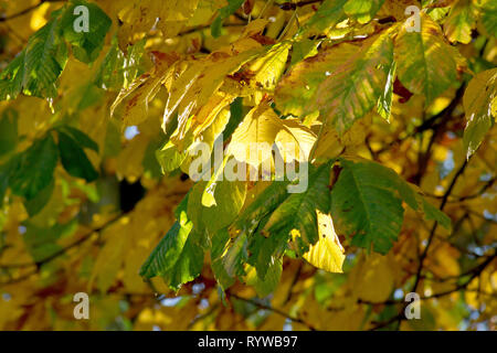 Horse Chestnut or the Conker Tree (aesculus hippocastaneum), a back-lit shot of the leaves as they change colour in autumn. - Stock Image
