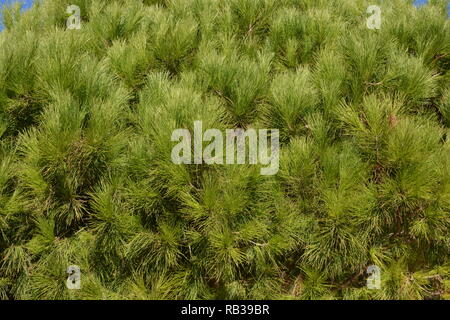 pine needles on a pine tree, Javea, Xabia, Alicante Province, Comunidad Valencia, Spain - Stock Image