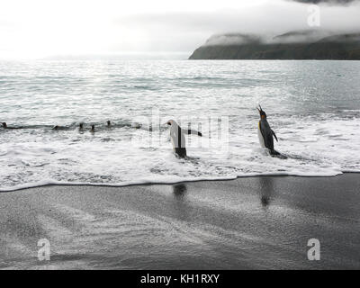 Two adult king penguins walking into the sea to go swimming with other penguins at Gold Bay, South Georgia Island - Stock Image