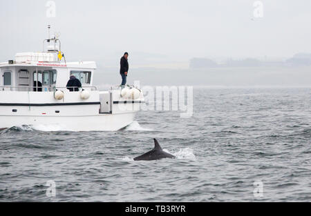 Bottle Nose Dolphins, Tursiops truncatus swimming close to a waildlife watching boat off the Farne Islands, Northumberland, UK. - Stock Image