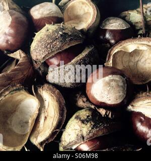 Autumn Chestnuts Fallen - Stock Image