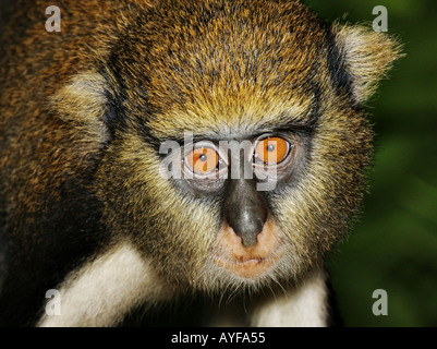 Adult Mona monkey cercopithecus mona Baobeng Fiema Ghana - Stock Image