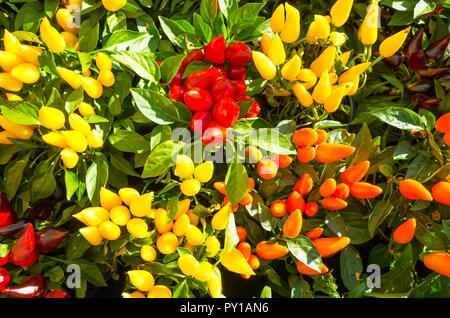 Red Yellow and Orange fruit on decorative potted plants of peppers Capiscum Sombrero in a garden centre - Stock Image