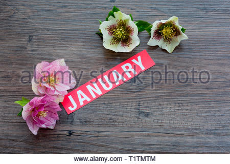 The word January with Hellebore flowers - Stock Image