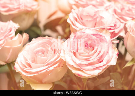 Bouquet of pink roses in the sunlight close-up - Stock Image