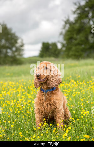 Close-up, portrait front view of pretty red cocker spaniel dog sitting upright, isolated outdoors in a countryside, rural field of wild buttercups, UK. - Stock Image