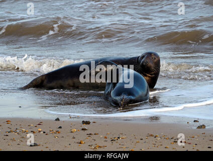 Grey seals frolic in the surf on the beach at Horsey, Norfolk, one of the main  sites for these endearing marine mammals on the east coast of England. - Stock Image