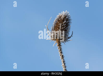 Single  frost covered Teasel against a blue sky - Stock Image