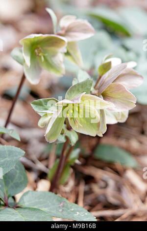Helleborus Ivory Prince - Lanten Rose - February - Stock Image