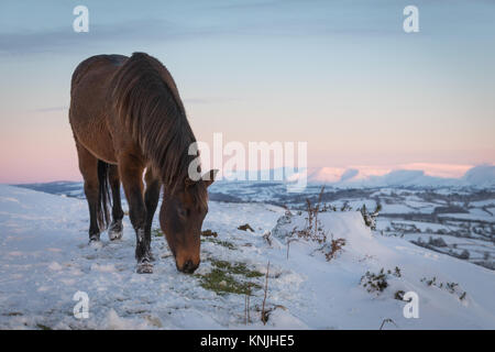 Paxton's Tower. UK. 11th December, 2017. A mountain pony feeding in the snow, with the Black Mountains in the - Stock Image