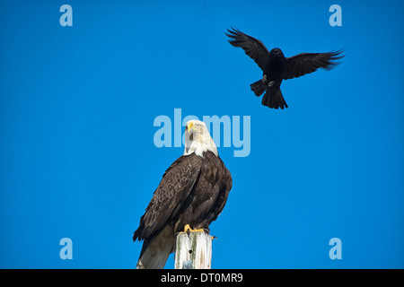 An angry Crow (Corvus) tries to drive a Bald Eagle (Haliaeetus leucocephalus) away from her nest, an activity called mobbing, Homer, Alaska, USA - Stock Image