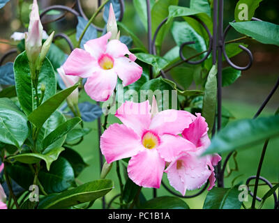 Pink Mandevilla flowering vine flowers belonging to the dogbane family, Apocynaceae, with a common name of rock trumpet growing in a patio garden. - Stock Image