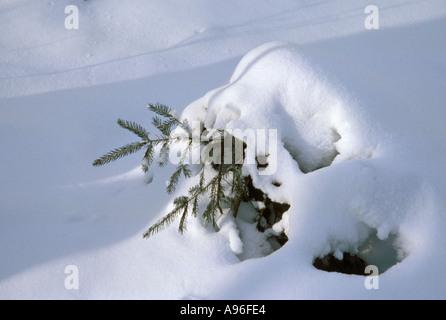Snow clad fir tree - Stock Image