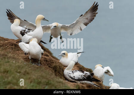 Four-year-old Northern gannets flying and grooming at Bempton Cliffs, Yorkshire, UK - Stock Image