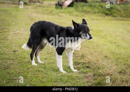 Border Collie with a quarter Australian Kelpie waiting in a field on a croft in Sutherland, Scotland - Stock Image
