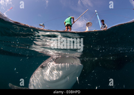 Split scene of Whale shark below a bagan (fishing boat with platform and nets), Cenderawasih Bay, New Guinea (Rhincodon typus) - Stock Image