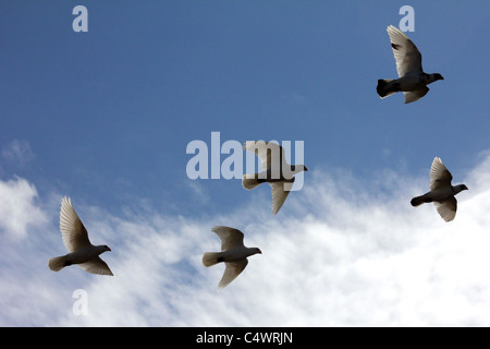 A flock of doves flying in the sky. horizontal - Stock Image